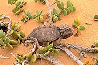 Africa, Namibia, Namib Desert, chameleon
