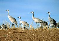Group of sandhill cranes
