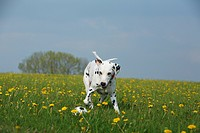 Dalmatian Canis lupus f. familiaris, jumping for a ball, Germany