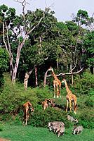 Giraffes and zebras, Masai Mara, Kenya, Africa