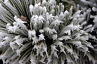 hoar frost on conifer