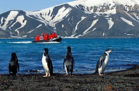 bearded penguin, chinstrap penguin Pygoscelis antarctica, Pygoscelis antarcticus, at the shore, tourists in zodiac on the crater lake of Deception Isl...