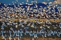 snow goose Anser caerulescens atlanticus, Chen caerulescens atlanticus, Snow Geese wintering in Bosque del Apache, USA, New Mexico, Bosque del Apache ...