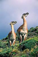 Guanacos on hillside