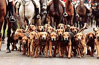 Group of Hunting Hounds at Foxhunt