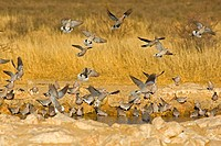Ring_necked Dove, Cape Turtle Dove, Half_Collared Dove Streptopelia capicola, drinking at waterhole, South Africa, Northern Cape, Kgalagadi Transfront...