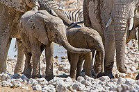 African elephant Loxodonta africana, young elephant after a mud bath touches its younger sibling with its trunk, Namibia, Etosha National Park, Okauku...