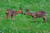 roe deer Capreolus capreolus, two bucks standing in a meadow face to face