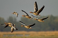 greylag goose Anser anser, flying group, Germany