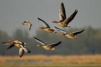 greylag goose Anser anser, flying group, Germany