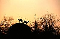 Two Klipspringer on Hill