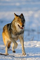 European gray wolf Canis lupus lupus, running through the snow in winter, Germany