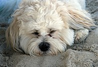 dog napping on the beach.