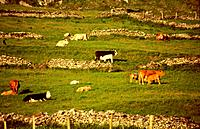 Cows and calf in the meadow