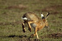 European hare Lepus europaeus, fleeing, Germany