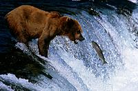 Brown Bear Catching Salmon in Rapids