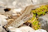 meadow viper, Orsini´s viper Vipera ursinii, Vipera ursinii macrops, juvenile among stones, Montenegro, Durmitor National Park
