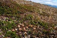 blue hare, mountain hare, white hare, Eurasian Arctic hare Lepus timidus, feces, Sweden, Abisko National Park
