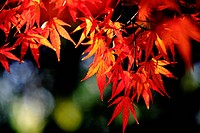 Plant, tree, maple tree leaf,