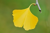 maidenhair tree, Ginkgo Tree, Gingko Tree, Ginko Tree Ginkgo biloba, single autumn leaf on a branch
