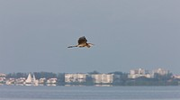 Great Blue Heron flying over Florida waters