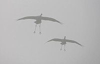 common crane Grus grus, two birds flying in fog, Sweden, Hornborga