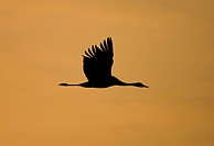 common crane Grus grus, silhouetted on the fly at sunset, Sweden, Hornborga