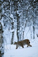 Eurasian lynx Lynx lynx, in winter birch forest, Norway