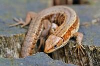 viviparous lizard, European common lizard Lacerta vivipara, Zootoca vivipara, coming out of the hiding_place, Germany