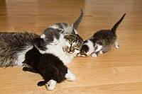 domestic cat, house cat Felis silvestris f. catus, domestic cat with kitten on the floor