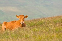 A brown cow in Swaledale in North Yorkshire , England , Britain , Uk