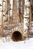 Porcupine and Aspen Trees in Winter