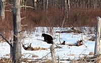 Black Bear and Cub near Den Winter Canada