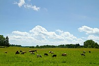 cows in the meadow, summer landscape