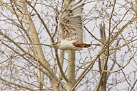 ferruginous hawk in flight at nest Saskatchewan Canada