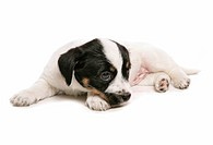 Jack Russell Terrier _ puppy _ cut out