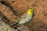 cinereous bunting Emberiza cineracea, male sitting on a rock, Greece, Lesbos