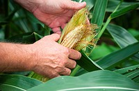 Man's hands husking an ear of corn in corn field