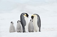 Emperor Penguin Aptenodytes forsteri, chick and adults  Snow Hill Island, Antarctic Peninsula, Antarctica