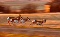 Pronghorn Antelope running through Saskatchewan field