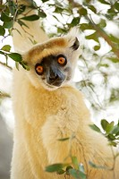 Golden_crowned Sifaka Propithecus Tattersalli in the trees of the Daraina Reserve in northeast Madagascar