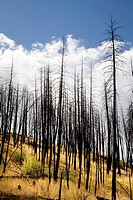 Forest After Fire, Okanagan, British Columbia