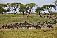 herd of Blue Wildebeests, Connochaetes taurinus, on famous migration in Serengeti, UNESCO World heritage site, Tanzania, Africa
