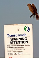 Female Brownheaded Cowbird about to land on sign