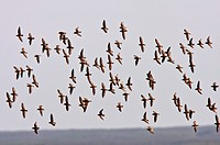 aerial display by shorebirds
