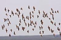 aerial display by shorebirds