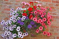 large petunia hanging basket