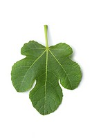 Single fresh fig leaf on white background