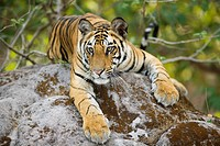 View of 17_month old Bengal tiger cub lying on rock.