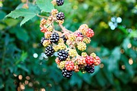 Branch of wild blackberry